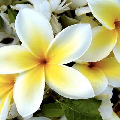 Hawaiian Petals